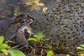 Frog spawn toad and its in the water Stock Images