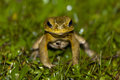 Frog staring at me curious Royalty Free Stock Image