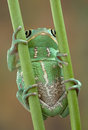 Frog on stems Stock Photography