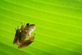 Frog under green leaf Royalty Free Stock Photo