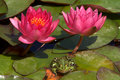 Frog and water lilies Stock Image