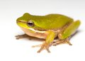 Frog on white an australian pygmy grog a background Royalty Free Stock Image
