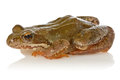 Frog on white background Stock Photography