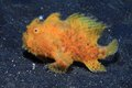 Frogfish hairy antennarius striatus on the sandy sea floor Royalty Free Stock Images