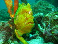 Frogfish Yellow Stock Image