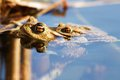 Froggy sex frogs copulating two toads in water toads have their head above water Stock Images