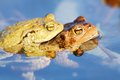 Froggy sex frogs copulating two toads in water toads have their head above water Royalty Free Stock Images