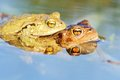 Froggy sex frogs copulating two toads in water toads have their head above water Stock Photos