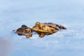 Froggy sex frogs copulating two toads in water toads have their head above water Royalty Free Stock Photography