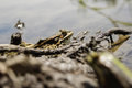 Frogs with a bright color under the hot sun at a bog Royalty Free Stock Photo