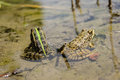 Frogs with a bright color under the hot sun at a bog Stock Photo