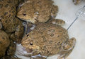 Frogs close up in the farm Stock Photography
