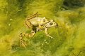 Frogs in coupling two a pond Royalty Free Stock Photo