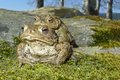 Frogs - european toad in a couple Royalty Free Stock Photo