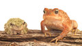 Frogs isolated american toad bufo americanus and tree frog hyla versicolor on a white background Royalty Free Stock Photography