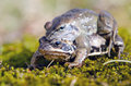 Frogs make love. Frog mating time in spring. Stock Photos