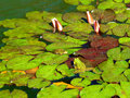 Frogs in the pond Royalty Free Stock Photo