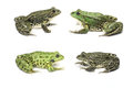 Frogs are sitting opposite each other across in front of a white background Stock Photo