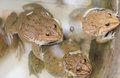 Frogs in water at the farm Stock Photo