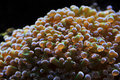 Frogspawn coral Royalty Free Stock Photos