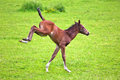 Frolic foal jumping on the meadow Royalty Free Stock Photo