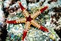 Fromia monilis starfish kapoposang scuba diver diving Royalty Free Stock Photo