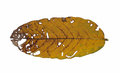 Front dead leaf in isolate white background Stock Images