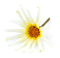 Front face macro of asteraceae daisy flower against a white background Stock Photos