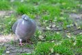 The Front of Grey Pigeon Looking at Camera Royalty Free Stock Photo