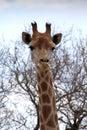 Front portrait picture de la cabeza de la jirafa Imagen de archivo