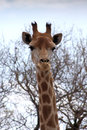 Front portrait picture van girafhoofd Stock Afbeelding