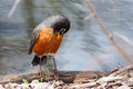 Front view of american robin turdus migratorius perched on branch Royalty Free Stock Photo