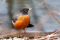 Front view of american robin turdus migratorius perched on branch Stock Image