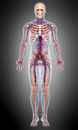 Front view Circulatory of male body in gray Royalty Free Stock Photo