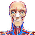 Front view of circulatory system of head d art illustration Stock Photo