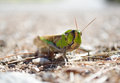 Front view of migratory locust in wilderness low angle shot a its natural habitat shot taken on mallorca spain Royalty Free Stock Image