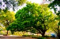 Front View of one old large banyan tree in public park at autumn sunset time. Brightly lit by beautiful sunbeam on treetop. Royalty Free Stock Photo