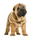 Front view of shar pei puppy looking away weeks old isolated on white Stock Image