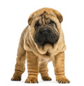 Front view of shar pei puppy weeks old isolated on white Stock Photography