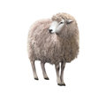 Front view of a Sheep looking away Royalty Free Stock Photo