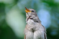 Front view of singing nightingale Royalty Free Stock Photo