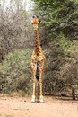 Front view of strong bodied giraffe standing next to trees with bulging muscles Royalty Free Stock Photography