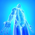 Front view of X-ray of male body in blue Stock Images