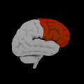 Frontal lobe human brain in side view Royalty Free Stock Images