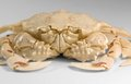 Frontal shot of a moon crab low angle in light grey back Stock Images