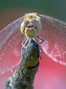 Frontal view of Common darter dragonfly perched on stick Royalty Free Stock Photo