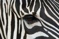 Fronte della zebra Immagine Stock