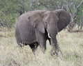 Frontview of adult elephant with tusks feeding on grass Royalty Free Stock Photo