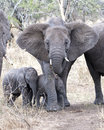 Frontview of a mother elephant with two baby elephants Royalty Free Stock Photo