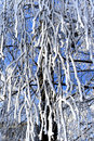 Frost on birch Royalty Free Stock Image
